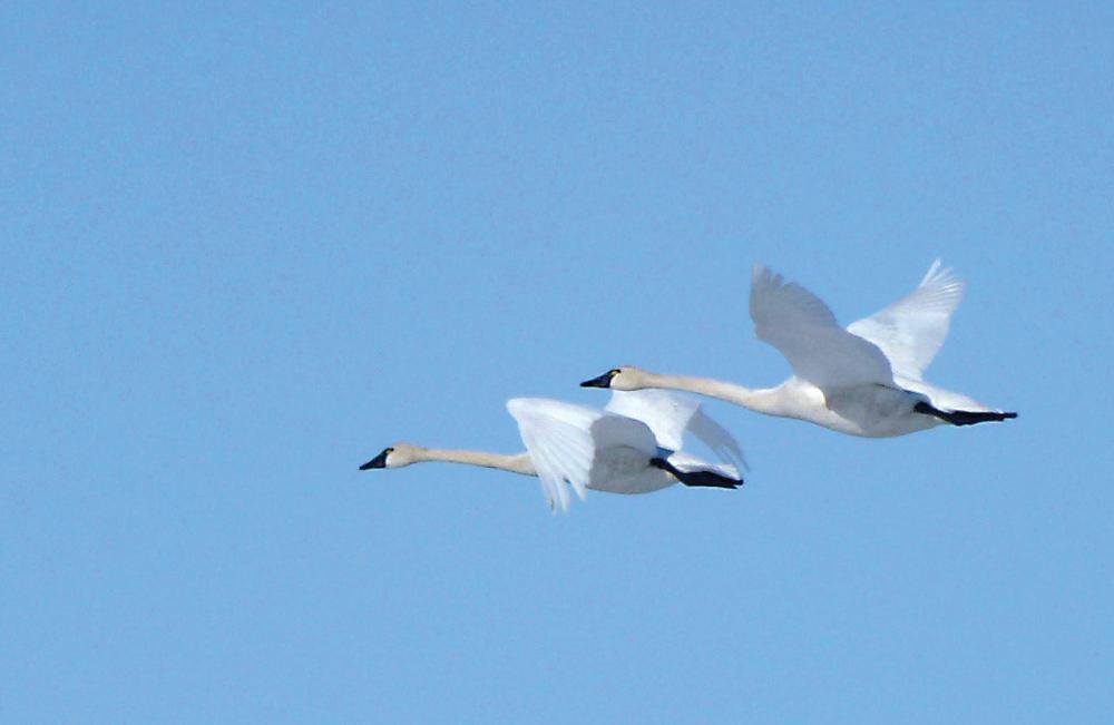 1918 swans