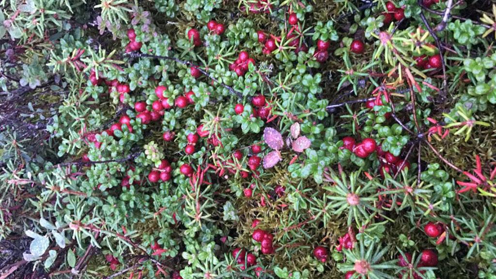 kelly-cranberries