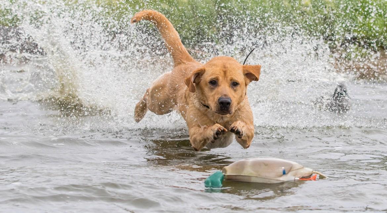 retriever splashing for a duck