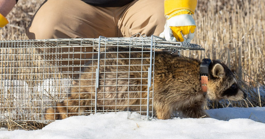 raccoon and other predator management from delta waterfowl