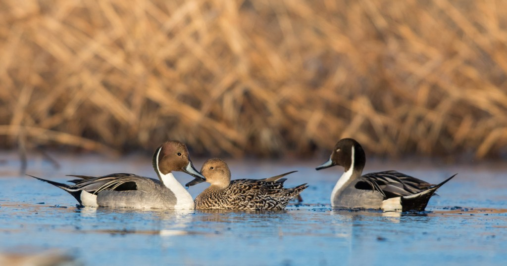 canvasback duck hen and ducklings highlighting the success of Delta's duck production and predator management programs