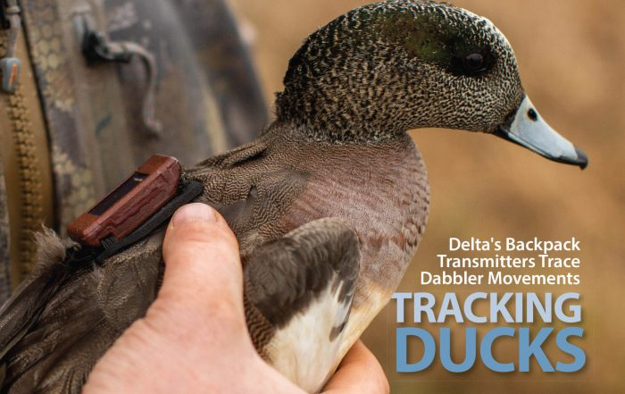duck wearing a transmitter, tracking ducks, where are all the ducks