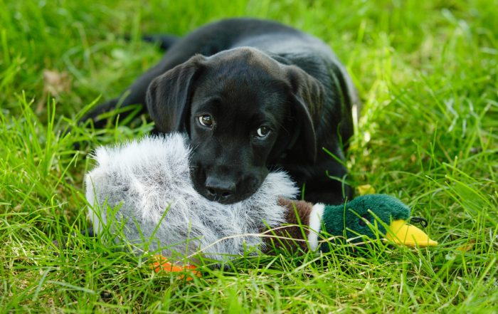 lab puppy with a duck toy looking adorable
