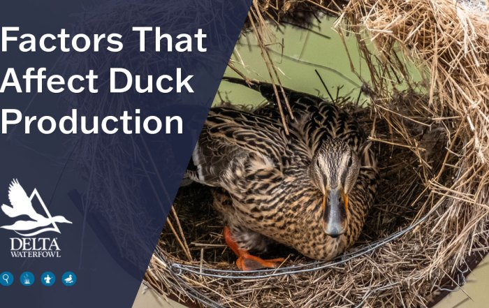factors that affect duck production