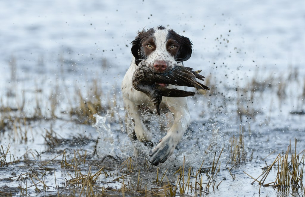 delta waterfowl duck dogs photo contest