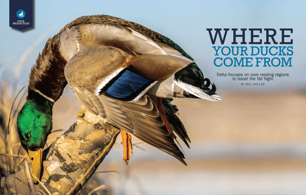 where do your ducks come from? Mallard drake in the hand of a hunter