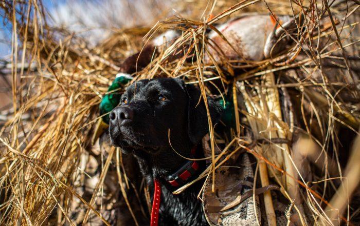 labrador retriever in a duck blind
