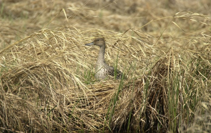pintail duck hen upland nesting bird benefits from crp land