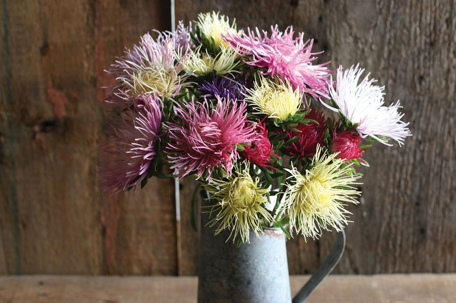 Valkyrie Mix   China Aster Seed   Johnny s Selected Seeds Valkyrie Mix Aster