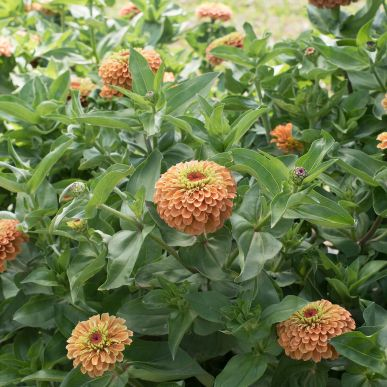 Johnnys Seeds Queen Lime Orange Zinnia