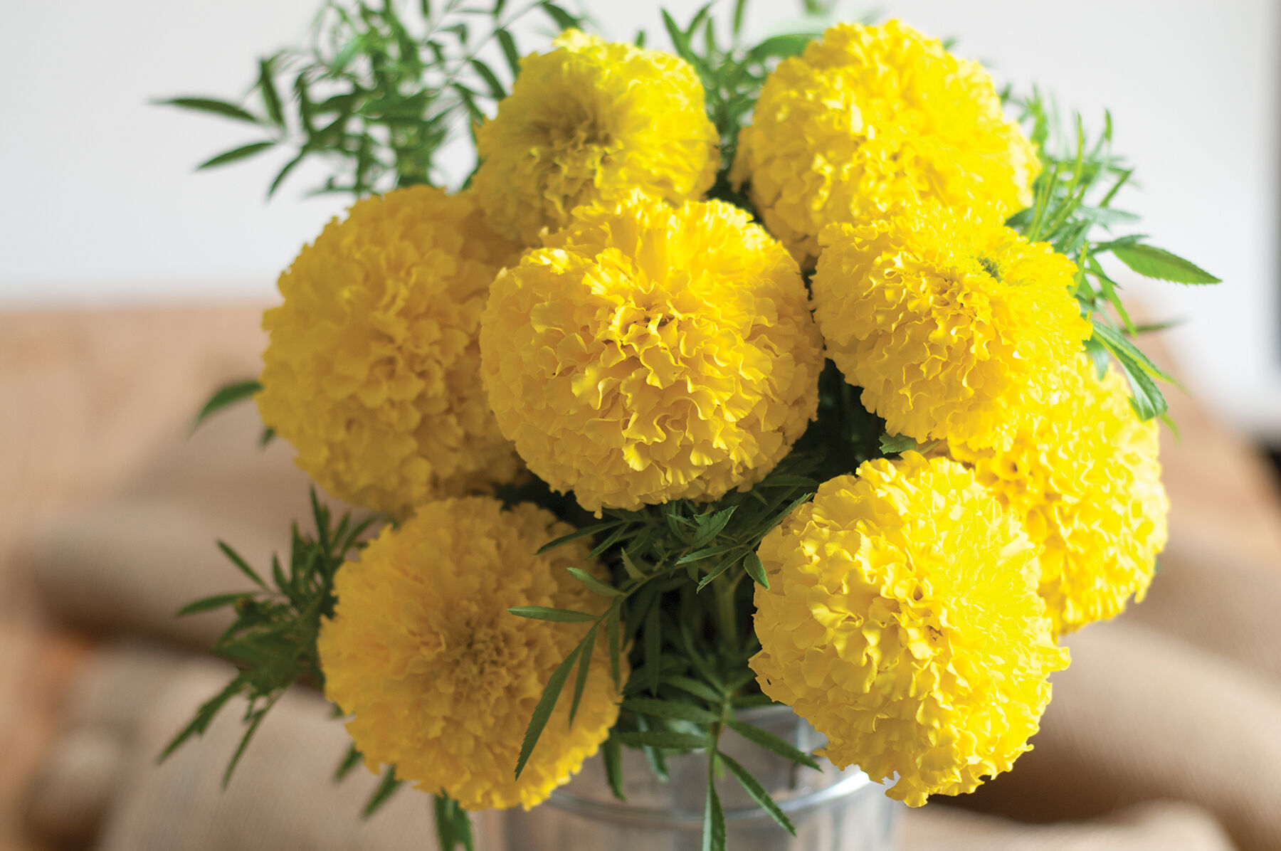 Giant Yellow   Marigold Seed   Johnny s Selected Seeds Giant Yellow Marigold