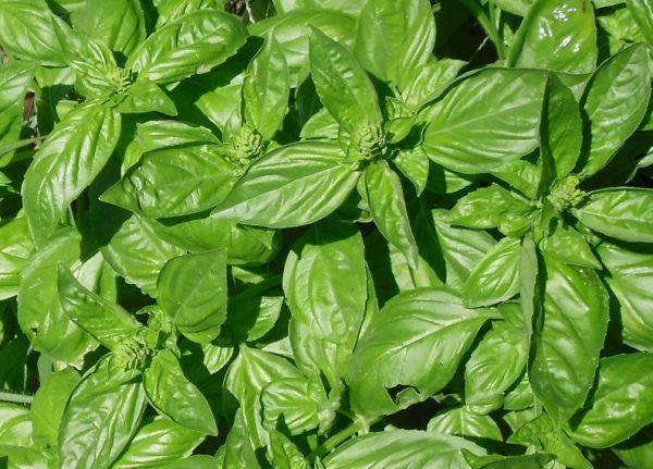 230-plantas-medicinales-mas-efectivas-y-sus-usos-albahaca-cribada-o-molida