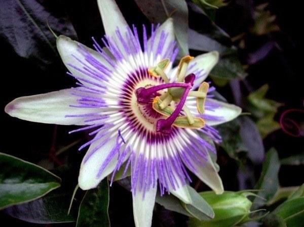 230-plantas-medicinales-mas-efectivas-y-sus-usos-pasiflora