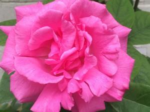 rozenjam