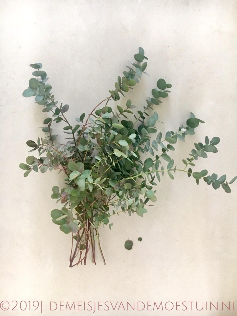 eucalyptus snoeien