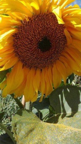 2017-sunflower-challenge-1