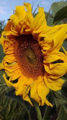 2017-sunflower-challenge-3