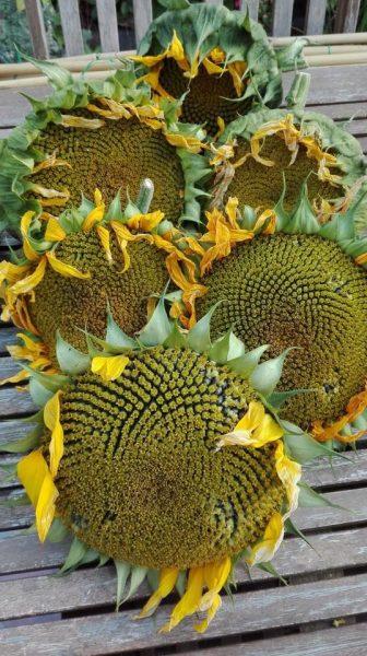 2017-sunflower-challenge-8