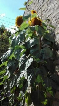 sunflower-challenge-2018-118