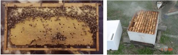 Cuadro de cría y colonia bien poblada óptimo para la multiplicación de colonias de abejas