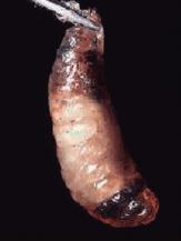 DeMielesyAbejas -Cría ensacada o sacciforme