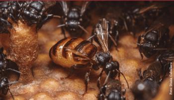 Foto de reina de la abeja sin aguijón Scaptotrigona mexicana.