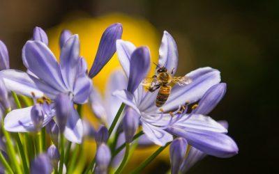 ¿Te imaginas abejas con mochilas con sensores para recopilar datos?