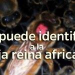 Abeja reina africana