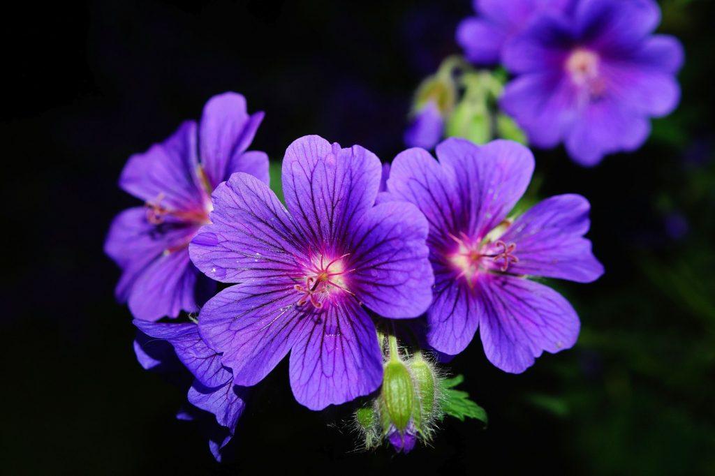 blossom plant flower purple petal bloom 1101819 pxhere.com
