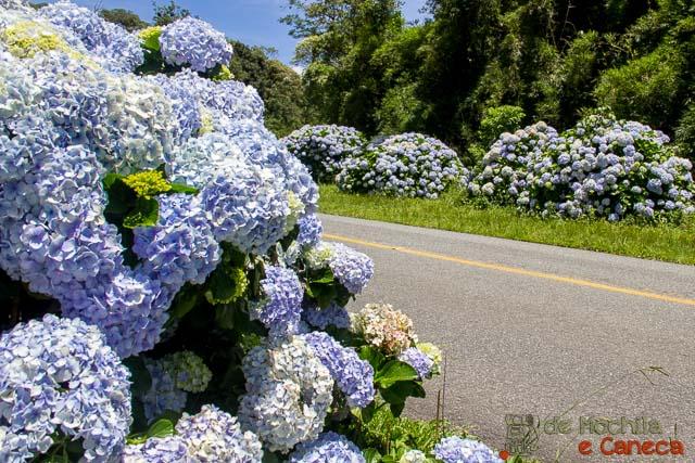 Hortênsia - Estrada da Graciosa
