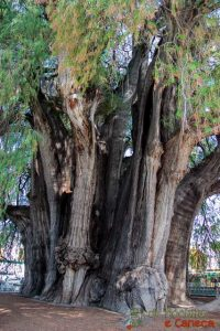 Árvore de Tule-10