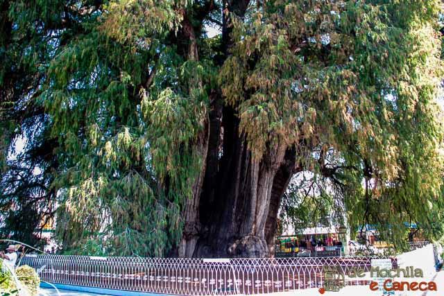 Árvore de Tule-9