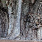 Árvore de Tule – México. A árvore mais grossa do mundo.