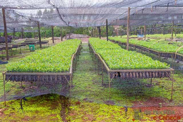 fábrica de erva-mate selecta terere-