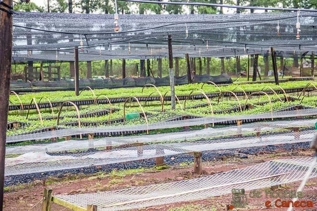fábrica de erva-mate selecta terere-Mudas