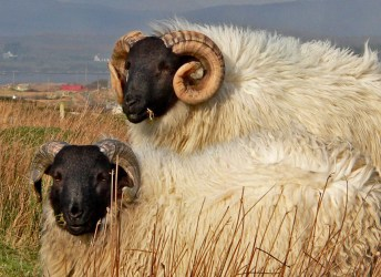 022 Connemara Sheep 14inchesLow-res