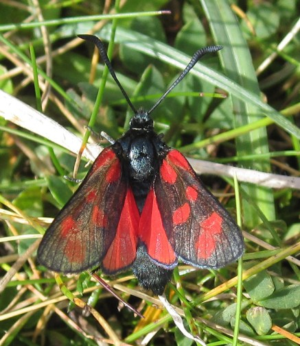Wildlife - Six-Spot Burnet Moth at Aughrusbeg