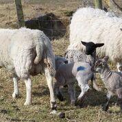 Tiree sheep