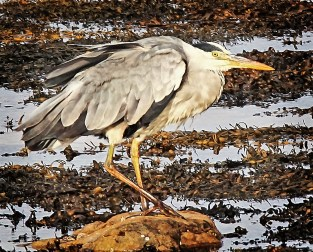Birds 4 Heron waiting for prey low res - Omey