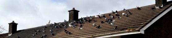 Bonhill Bridge pigeons 2