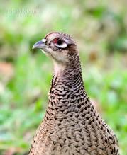 feathers 2 female pheasant