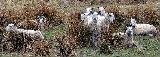 Sheep in Glen Fruin