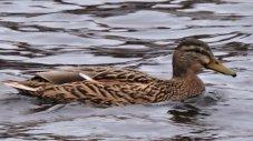 ducks 3.jpg 4