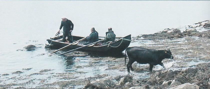Inishturk 8.jpg swimming cattle