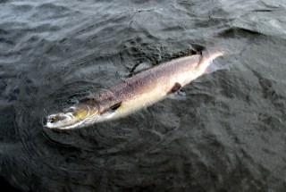 Salmon 12