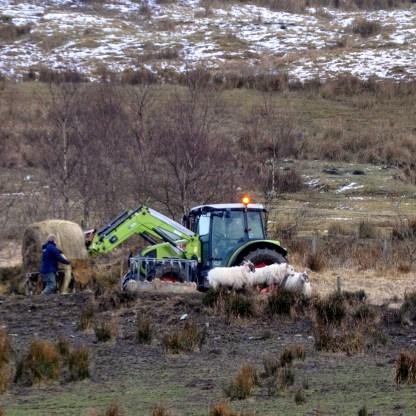 women farmers - Sheep farmer feeding his flock in Glen Fruin high above Loch Lomondside.
