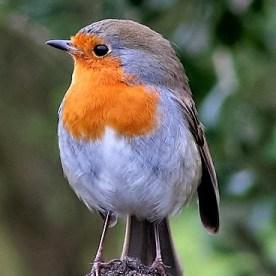 Birds 013 Connemara Robin - Juvenile First Winter - 14inchesLow-res