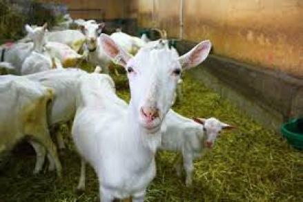 Free Images : farm, pasture, mammal, fauna, goats, vertebrate, cow goat  family, white goat 4272x2848 - - 1395718 - Free stock photos - PxHere
