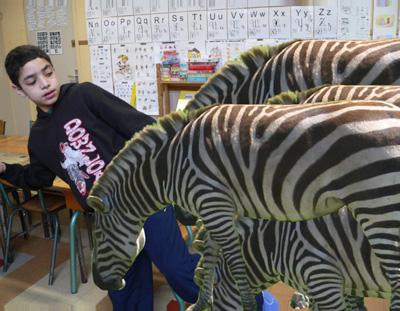 Een kudde zebra's loopt bijna een jongetje omver.