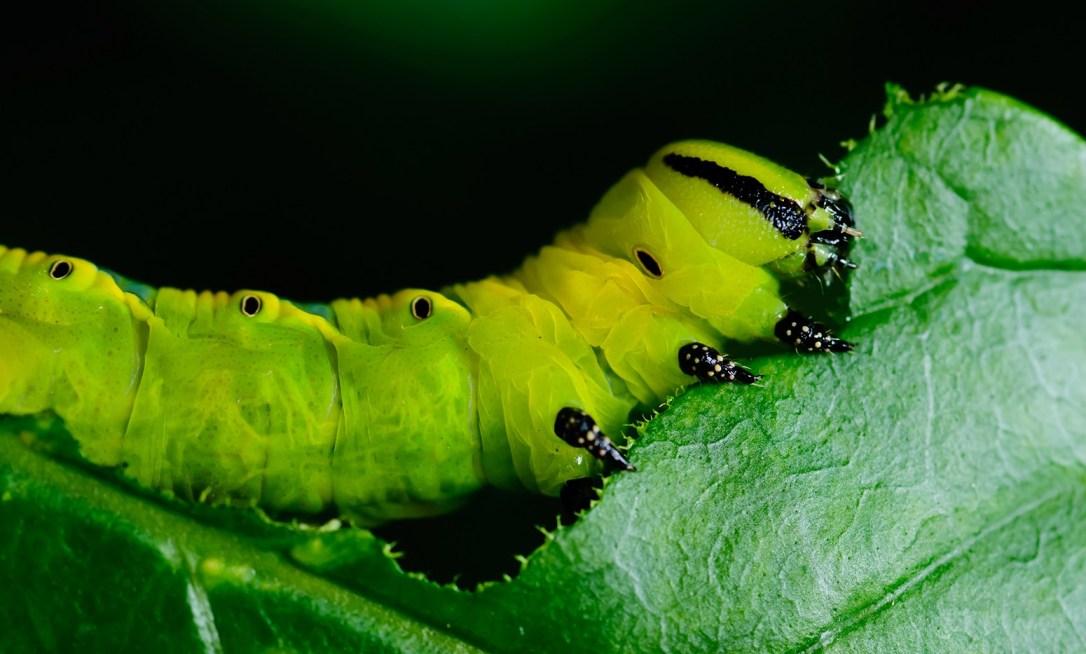 caterpillar-eating-leaf-e1444406752812.jpg